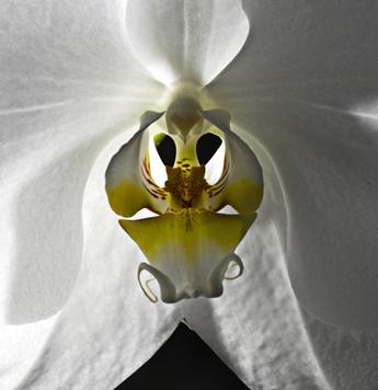Orquidea Xalapeña (Veracruz)