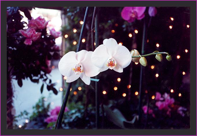 Orquídeas en Navidad