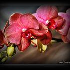 Orquídeas Ii