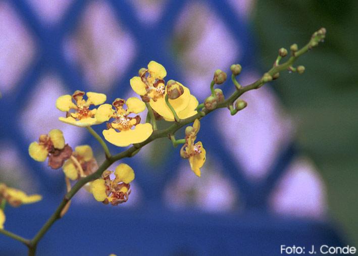 Orquideas na Primavera