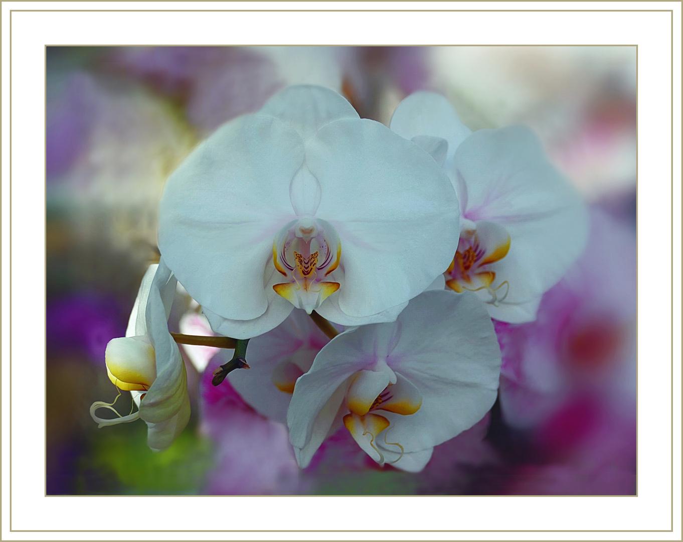 Orquidee    liebliche Farbe
