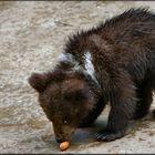Orso che mangia