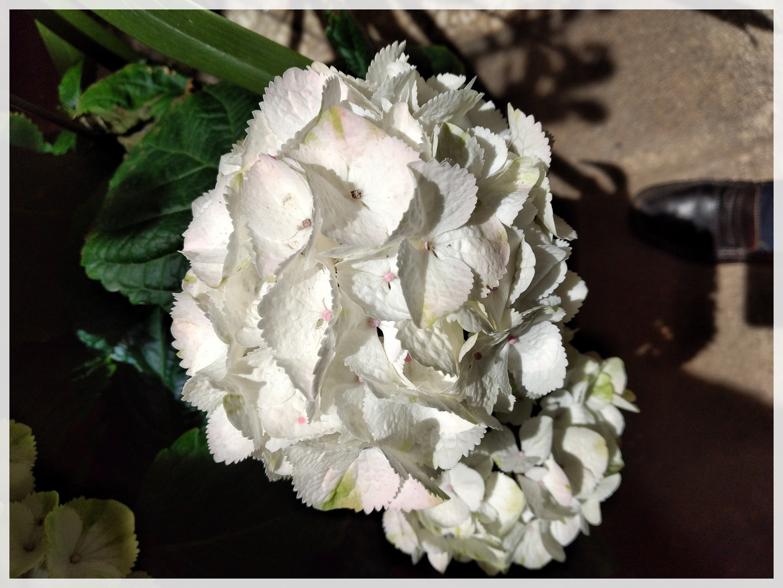 Ortensia bianca