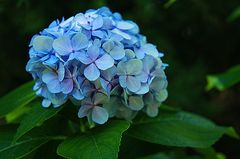 Ortensia blue