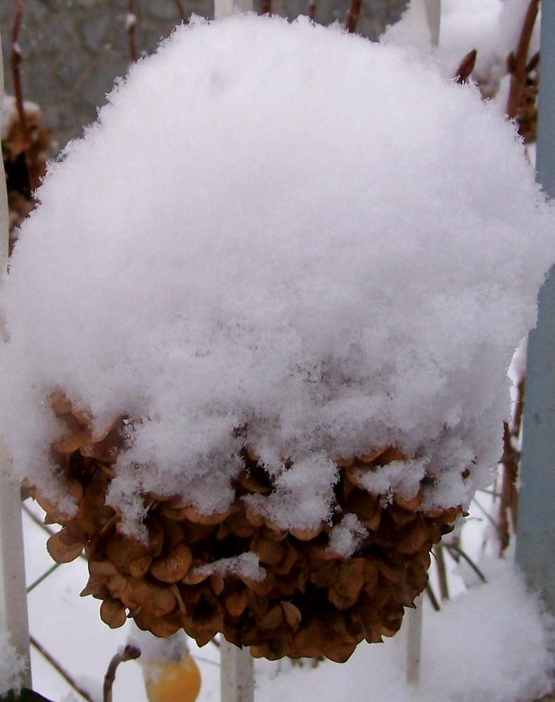 ortensia invernale