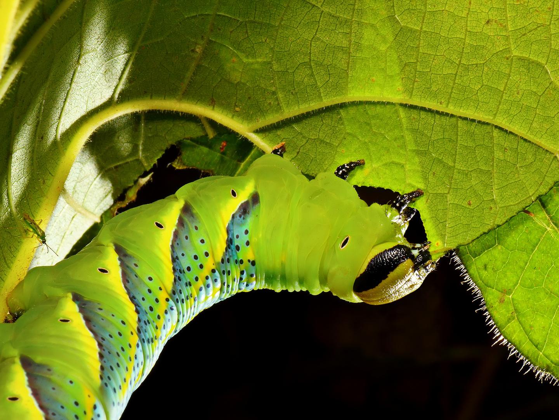 Oruga: Acherontia atropos