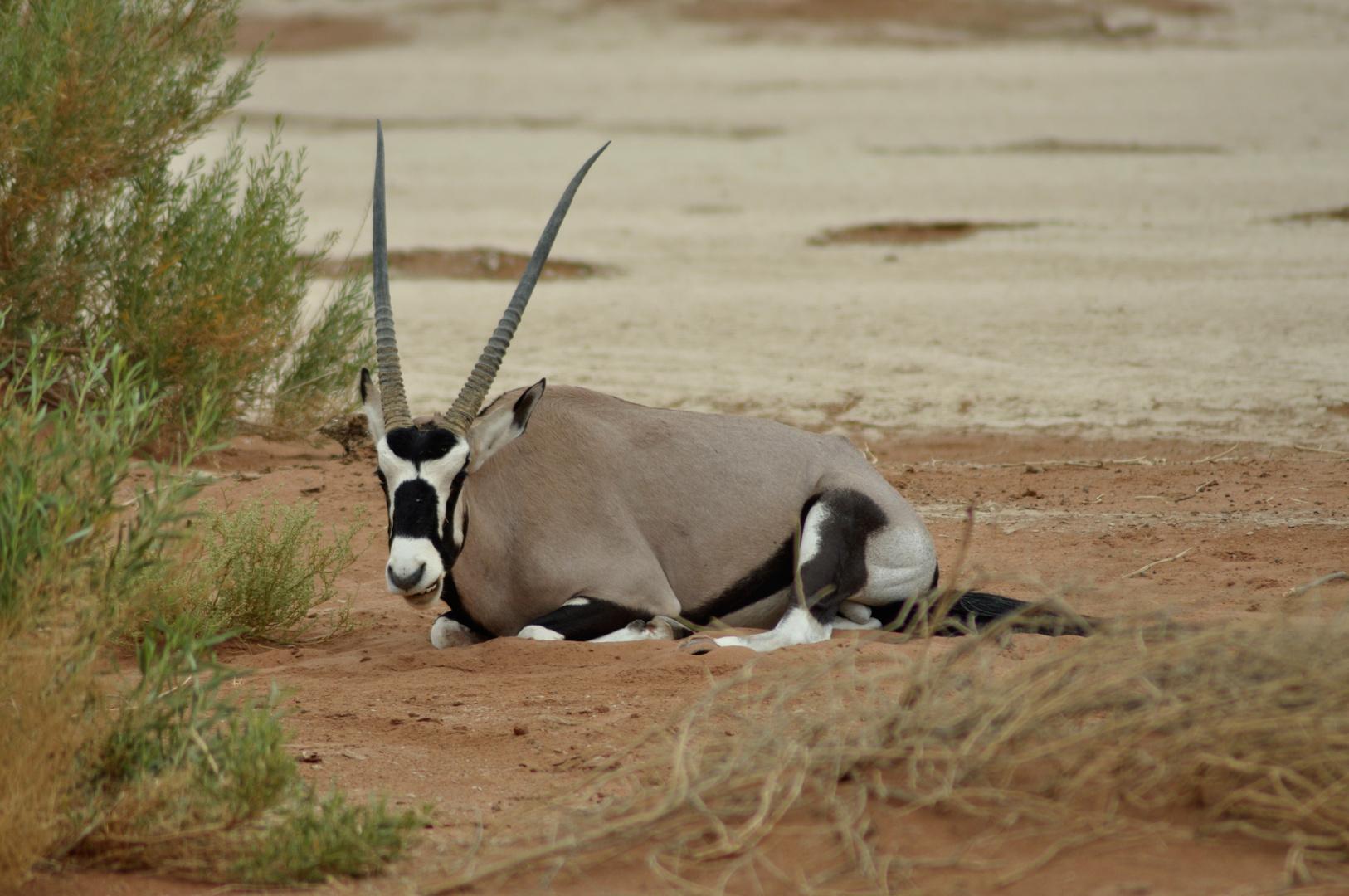Oryx Antilope