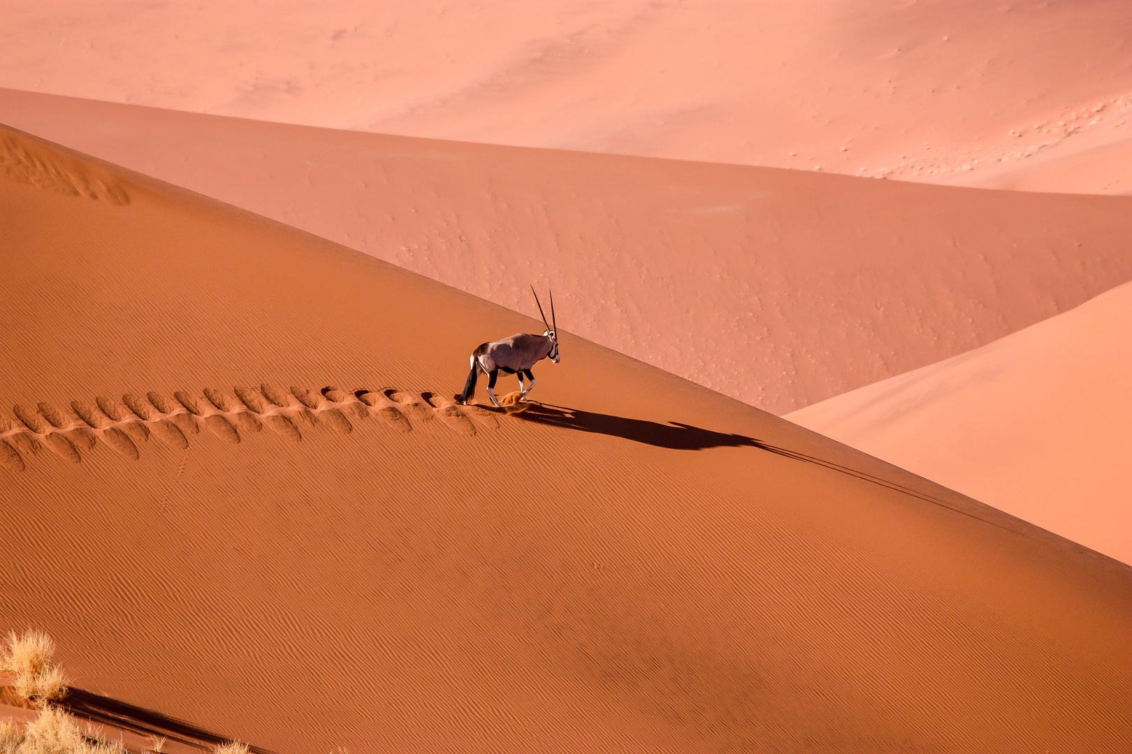 Oryx Antilope in der Namib Wüste