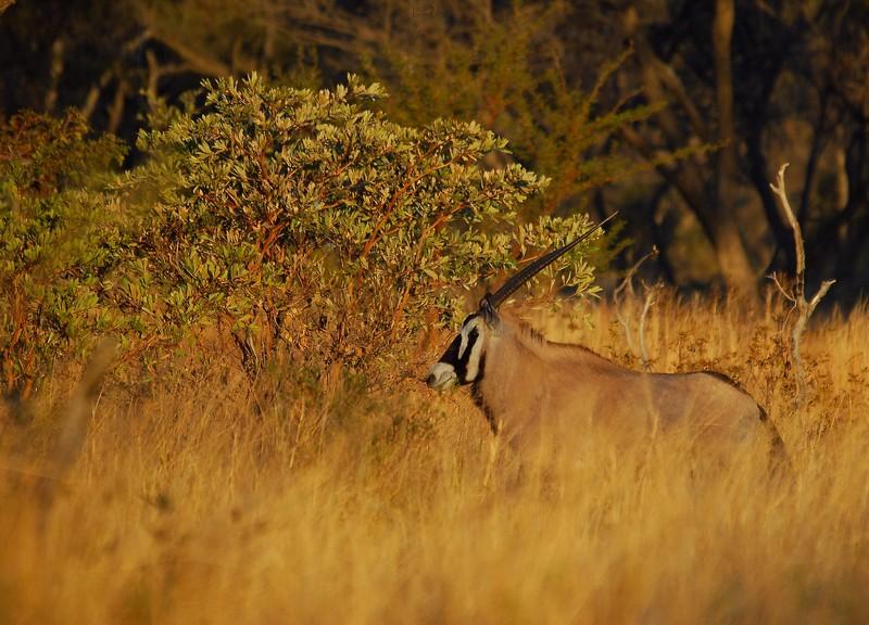Oryx au soleil couchant