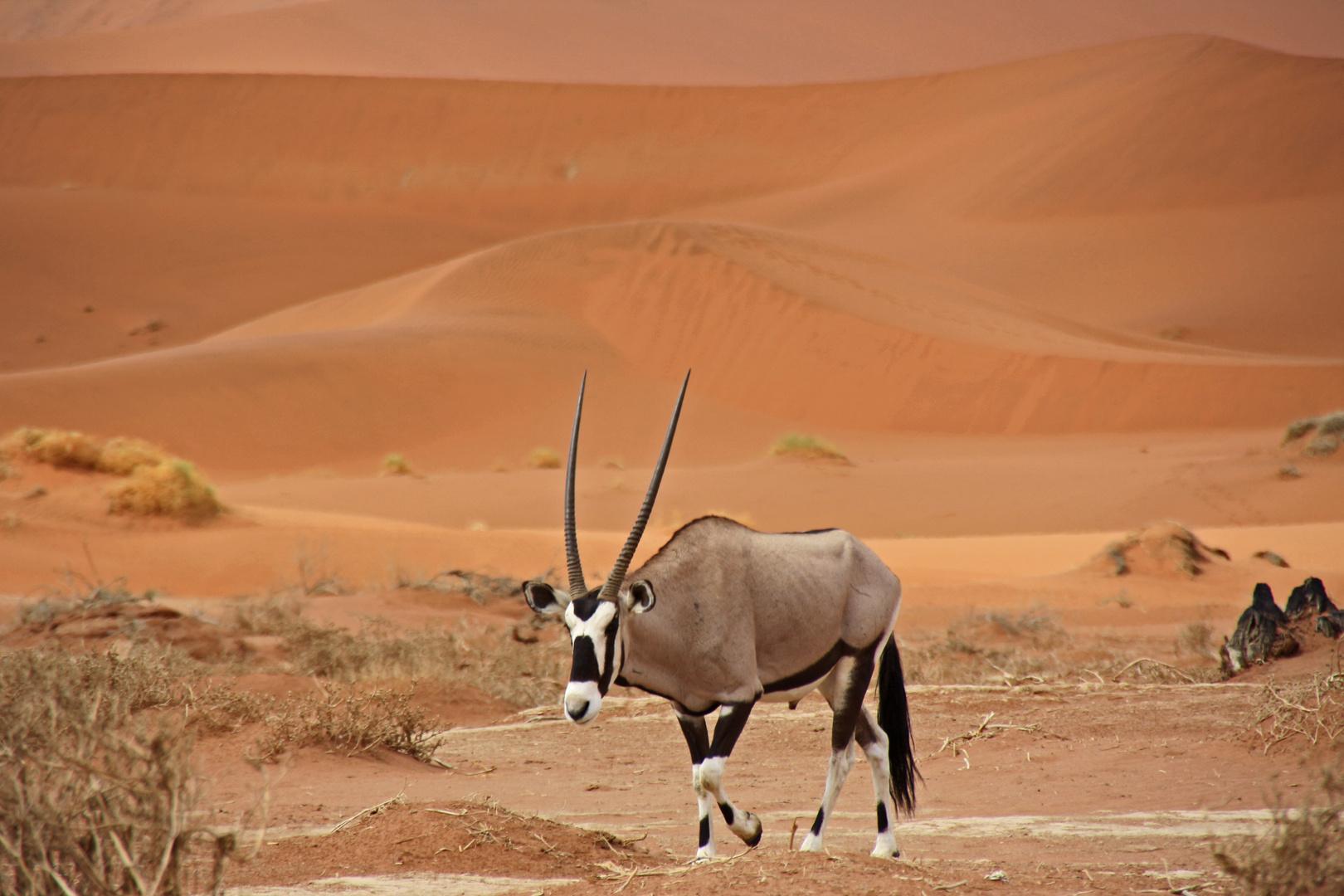 Oryx im Sossusvlei