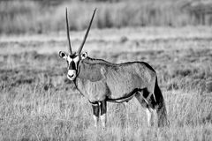 Oryx in Afrika