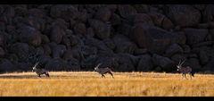 Oryx Land...