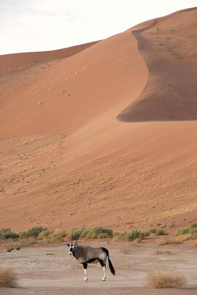 Oryx vor Düne
