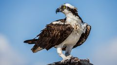 Osprey,