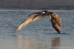 Osprey at Bunche Beach