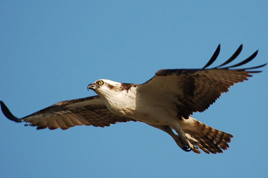 Osprey (Pandion haliaetus) - Fischadler ...
