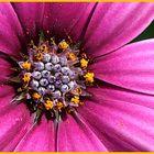 Osteospermum - Polarstern