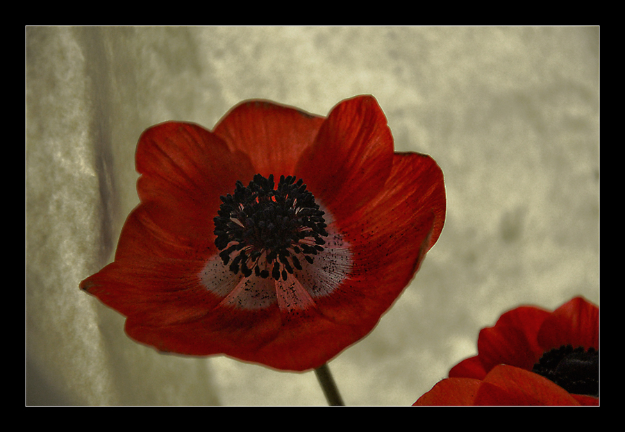 Oster-Anemone