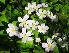 Osterblümchen