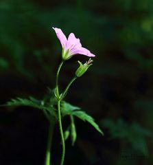 Osterblümchen -There´s always a light