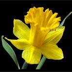 Osterglocke - gelbe Narzisse