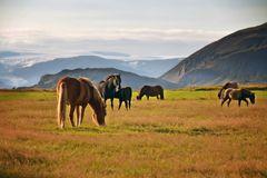 Ostfjorde-Pferde