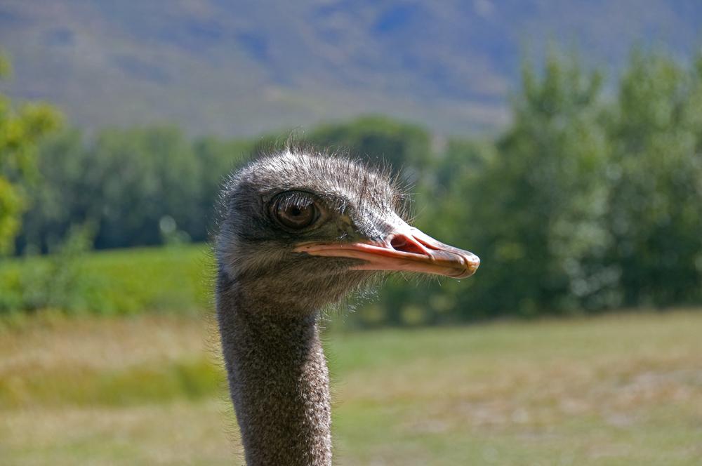 Ostrich Queen of Franschhoek Valley