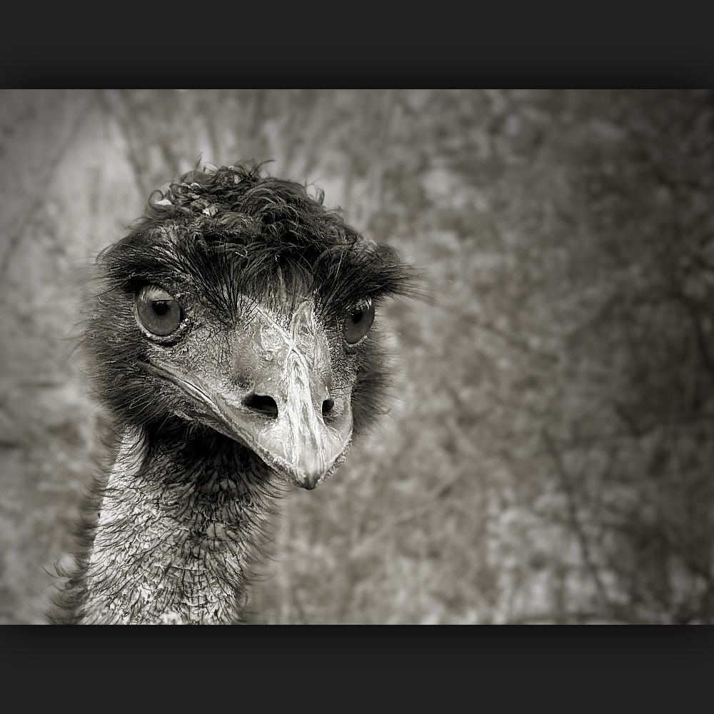 Ostrich with curly hair