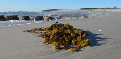 Ostsee-Algen