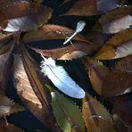 otoño sobre el estanque, palomas mudando plumas