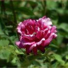 Otra rosa