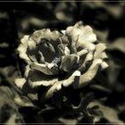 Otra rosa II