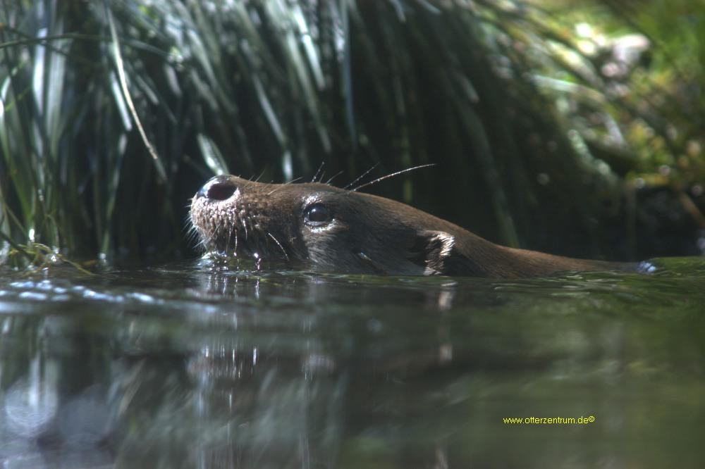 Otter 3