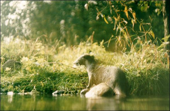 Otter am Fluß
