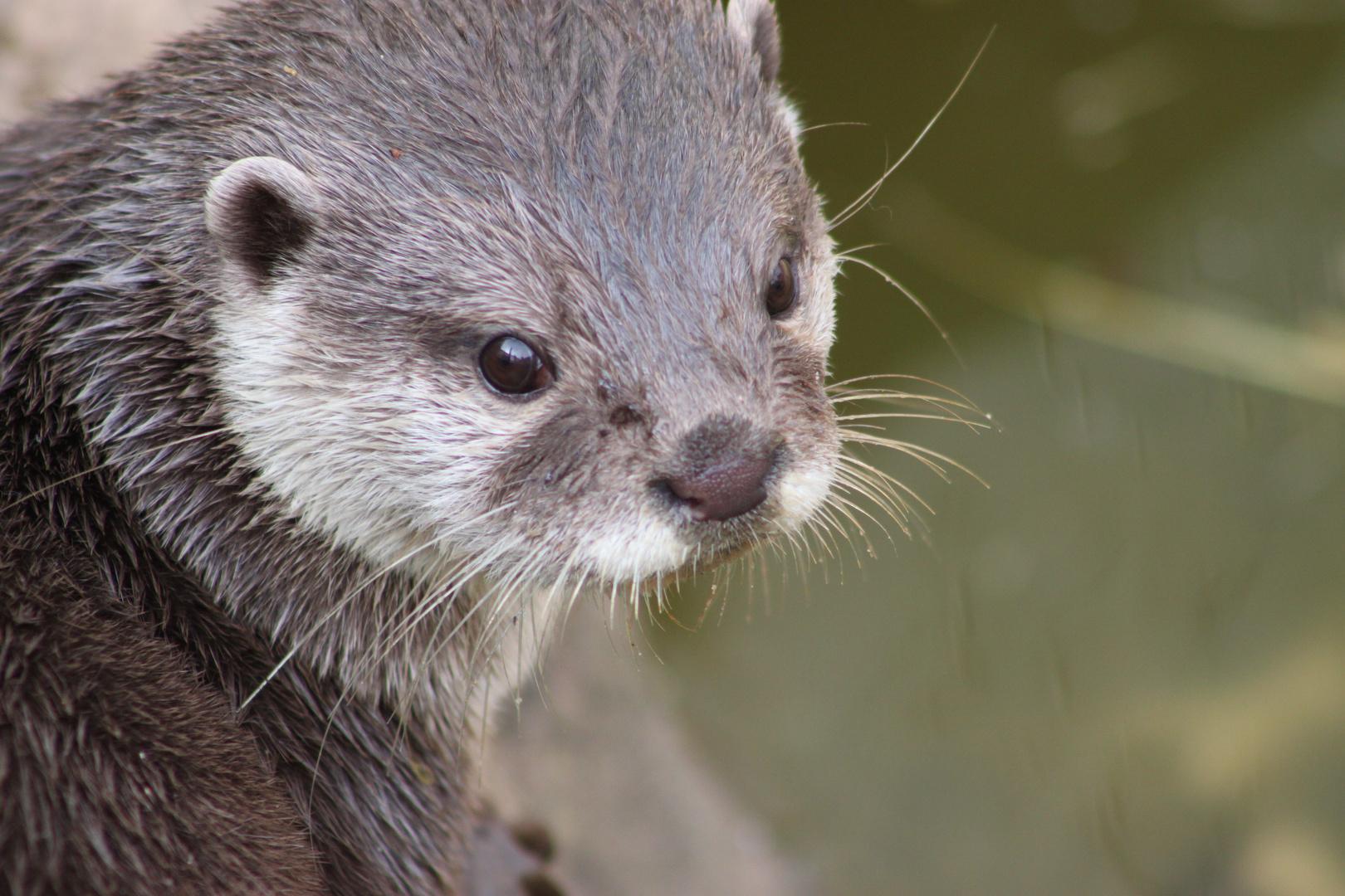 Otter at troppicquarium