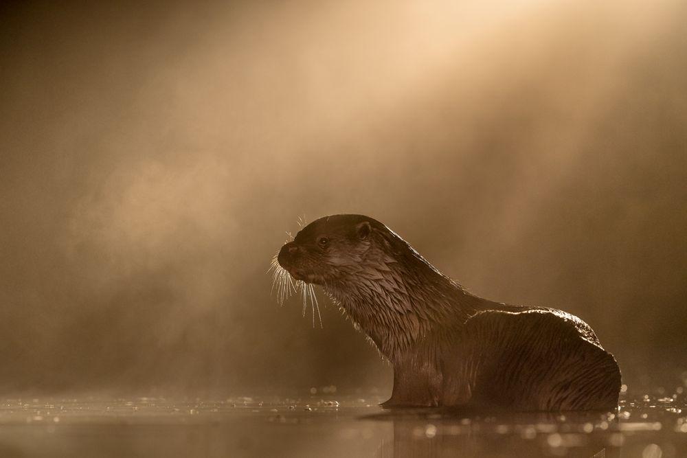 Otter im Nebel