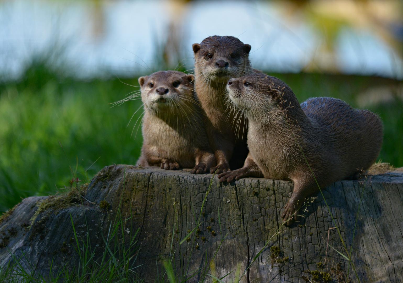 Ottern im Dreierpack