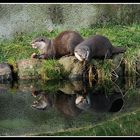 Otters Reflection