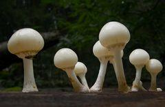 Oudemansiella mucida - Porcelain Fungus (6)