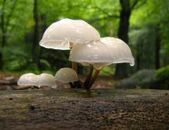Oudemansiella mucida - Porcelain Fungus (7)