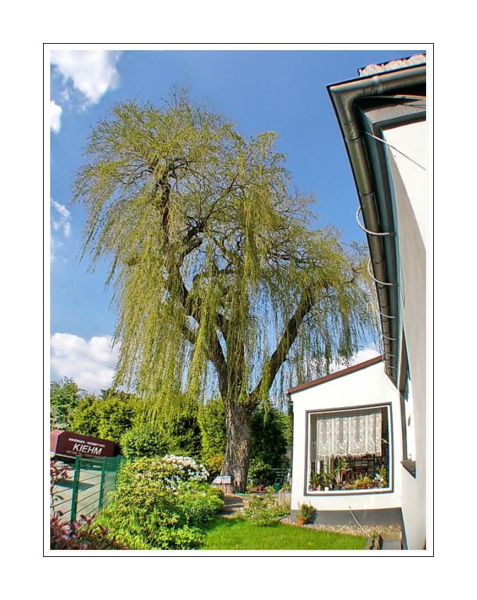 our hinterhof our garden our tree (Dichterviertel Wuppertal Hammerstein)