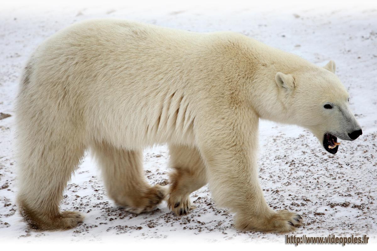 Ours polaire (ours blanc) Arctique Canadien