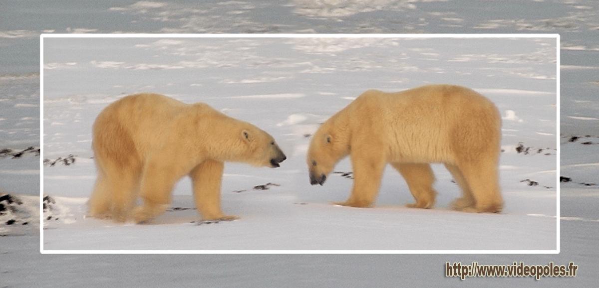 Ours polaires de l'Arctique