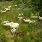 ovejas en el pantano