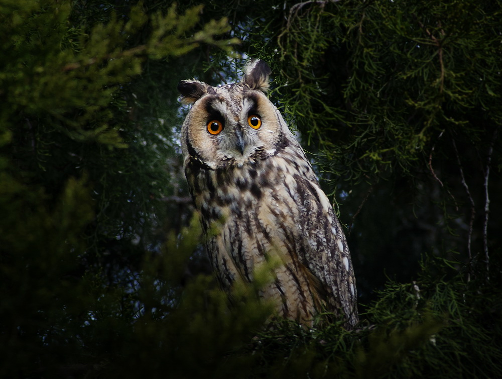 Owl from Basaid