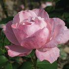 owner of rose