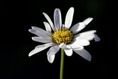 Ox-eye daisy (Leucanthemum)