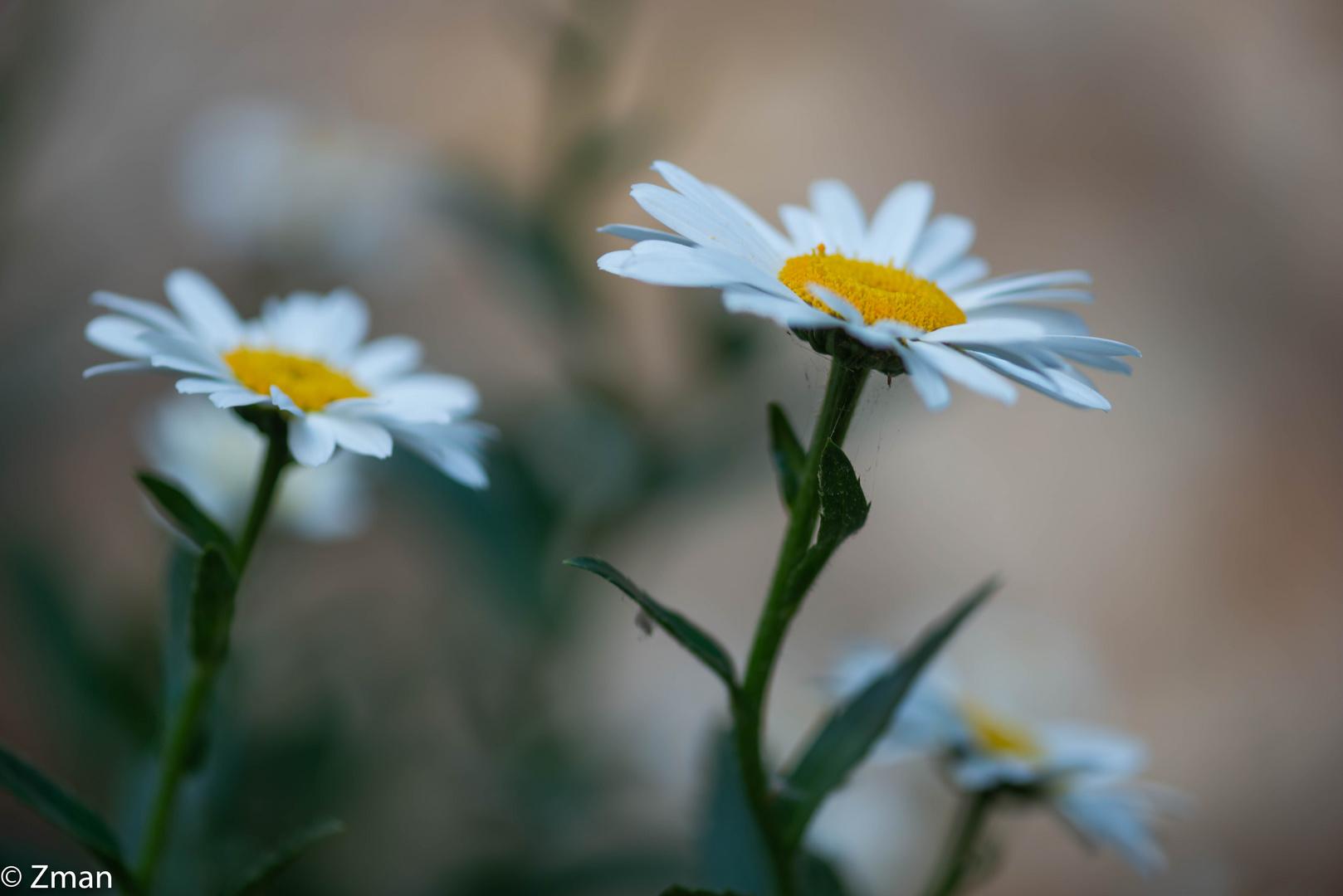 Oxeye Daisy Flowers-11