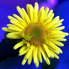 oxeye daisy on blue