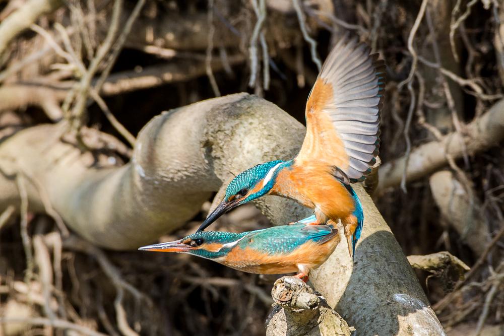 ~ Paarung bei den Eisvögeln ~